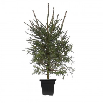Ladin Çam Ağacı