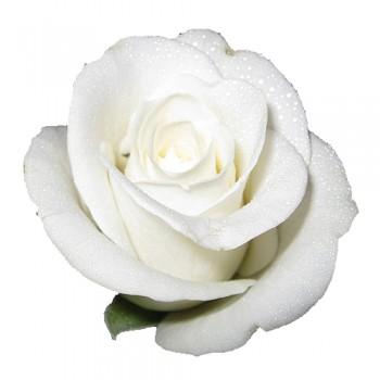 Aşılı Gül Fidanı (Beyaz) 50x70 cm