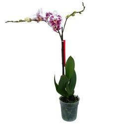 Orkide / Çilli ( Tek Dallı ) 50x70 cm