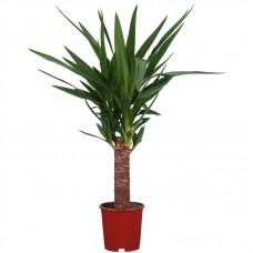 Yuka Çiçeği ( Yucca ) Tekli 50x70 cm