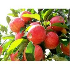 Meyve Fidanı