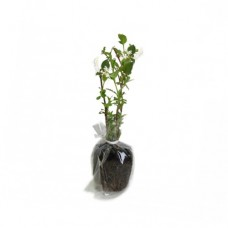 Hanımeli / Lonicera 30x50 cm