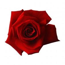 Aşılı Gül Fidanı (Kırmızı) 50x70 cm