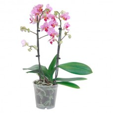 Orkide / Karışık (Çift Dal) 50x70 cm