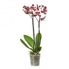 Orkide / Çilli (Çift Dal) 50x70 cm