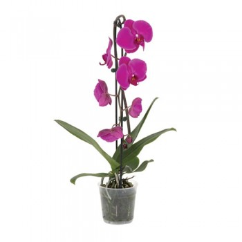 Orkide / Mor ( Tek Dallı ) 50x70 cm