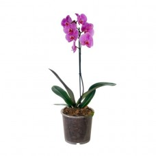 Orkide / Pembe ( Tek Dallı ) 50x70 cm