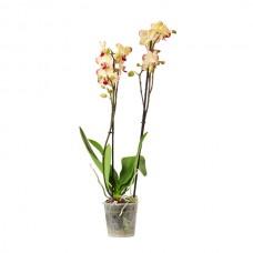 Orkide / Sarı (Çift Dal) 50x70 cm