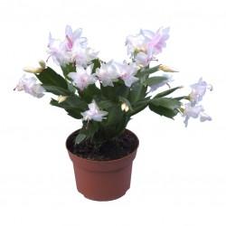 Yılbaşı Çiçeği / Beyaz 30x50 cm