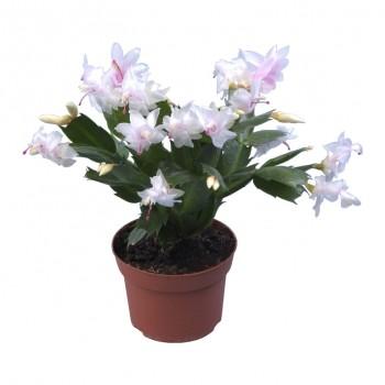 Yılbaşı Çiçeği / Beyaz 20x30 cm